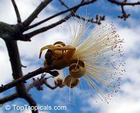 Pseudobombax marginatum, Peroto del Monte  Click to see full-size image