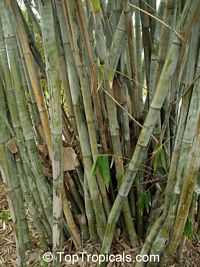 Dendrocalamus sp., Giant Bamboo  Click to see full-size image