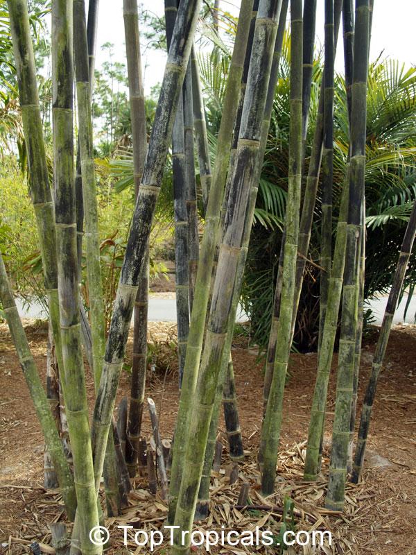 Dendrocalamus sp , Giant Bamboo - TopTropicals com