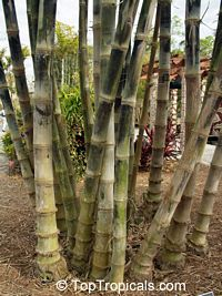 Gigantochloa sp., Giant Bamboo  Click to see full-size image
