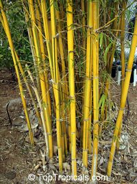 Bambusa vulgaris Vittata - Painted Bamboo, Golden Hawaiian Bamboo