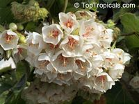Dombeya burgessiae - seeds  Click to see full-size image