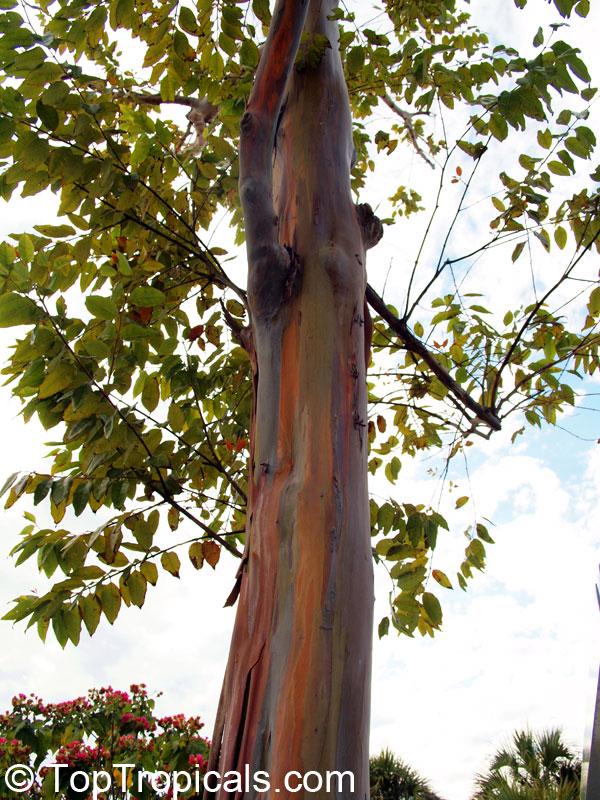 Eucalyptus Deglupta Rainbow Mindanao Gum Click To See Full