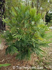 Filicium decipiens , Japanese Fern Tree   Click to see full-size image