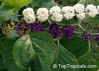 Callicarpa americana, American Beautyberry  Click to see full-size image