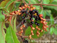 Hamelia patens, Fire Bush, Firecracker Plant