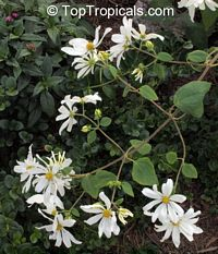 Montanoa guatemalensis, Daisy Vine, Daisy Tree