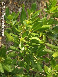 Myrsine cubana, Rapanea punctata, Myrsine, Colicwood   Click to see full-size image