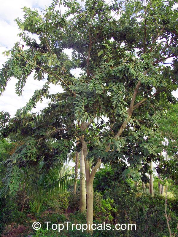 Piscidia piscipula, Jamaica Dogwood - TopTropicals.com