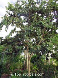 Piscidia piscipula, Jamaica Dogwood  Click to see full-size image