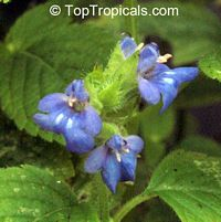 Salvia hispanica, Chia  Click to see full-size image