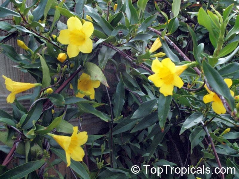 Gelsemium Sempervirens Yellow Jessamine Carolina Jasmine