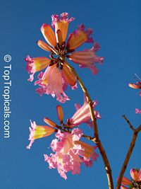Tabebuia haemantha x impetiginosa Pooh-Joe - Dark Pink, grafted  Click to see full-size image