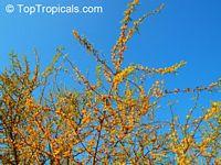 Vachellia farnesiana, Acacia farnesiana, Mimosa farnesiana, Yellow Mimosa, Sweet WattleClick to see full-size image