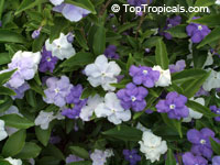 Brunfelsia pauciflora Compacta - Dwarf Yesterday-Today-Tomorrow  Click to see full-size image