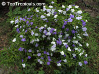 Brunfelsia australis - Morning, Noon and Night  Click to see full-size image