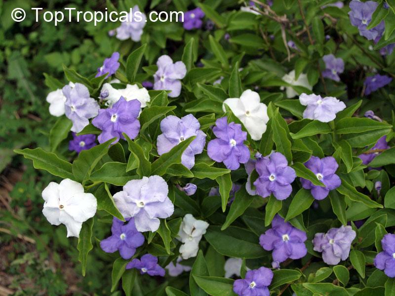 Brunfelsia Australis Bonodora Latifolia Yesterday Today And Tomorrow