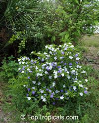 Brunfelsia australis, Brunfelsia bonodora, Brunfelsia latifolia, Yesterday-Today-and-Tomorrow