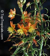 Bulbine frutescens - Orange African Bulbine