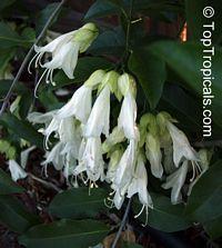 Oxera pulchella - Royal Creeper  Click to see full-size image