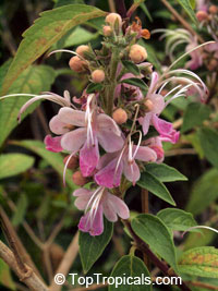 Clerodendrum mastacanthum (Rotheca mastacantha) - Pink Butterfly BushClick to see full-size image