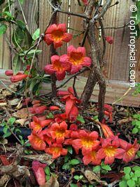 Bignonia capreolata, CrossvineClick to see full-size image