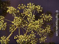 Steganotaenia araliacea, Carrot Tree  Click to see full-size image