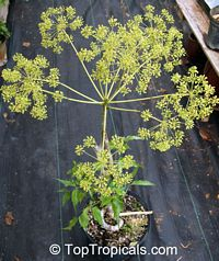 Steganotaenia araliacea, Carrot TreeClick to see full-size image