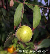Eugenia victoriana, Sundrop, GuayabillaClick to see full-size image