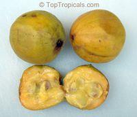 Eugenia victoriana, Sundrop, Guayabilla  Click to see full-size image