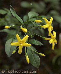 Jasminum odoratissimum - Yellow (fruity) jasmine  Click to see full-size image