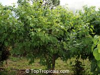 Morus sp., Mulberry  Click to see full-size image