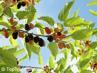 Morus sp. - Mulberry, Dwarf Everbearing   Click to see full-size image