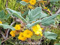 Uncarina roeoesliana, Uncarina  Click to see full-size image