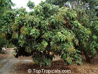 Euphoria longana, Dimocarpus longan, Nephelium longana, Longan, Dragon's Eye  Click to see full-size image
