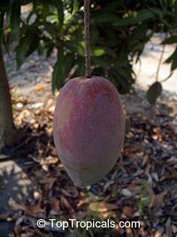 Mango Lancetilla