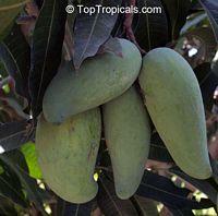 Mangifera indica - Thom Pi Kan (Tong Pykun) Mango, Grafted  Click to see full-size image