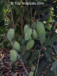 Mangifera indica - Po Pyu Kalay Mango, Large size, GraftedClick to see full-size image