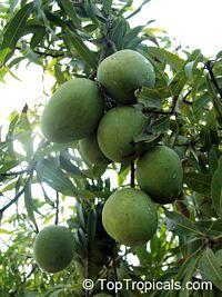 Mango Alampur Baneshan