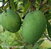 Mangifera indica - Alampur Baneshan Mango, Grafted  Click to see full-size image