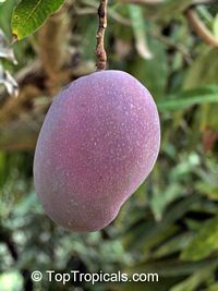 Mangifera indica - Tommy Atkins Mango, Grafted