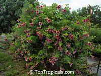 Allamanda blanchetii, Allamanda violacea, Cherry Allamanda, Purple AllamandaClick to see full-size image