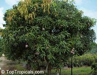 Mango Vallenato