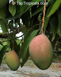 Mangifera indica - Pickering Mango, Grafted