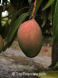 Mango Pickering