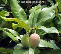 Mangifera casturi, Kalimantan Mango, Kasturi  Click to see full-size image
