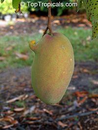 Mango Rosigold