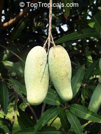 Mangifera indica - Kiew Yai Mango, Grafted  Click to see full-size image