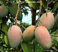 Mangifera indica - Fruit Cocktail Mango, Grafted  Click to see full-size image