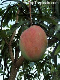 Mangifera indica - Excalibur Mango, Grafted  Click to see full-size image